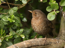 Female Blackbird. A female Blackbird appearing from a hedge Stock Photography