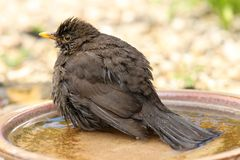Female Blackbird. A female Blackbird cooling off in a water bowl Royalty Free Stock Photography