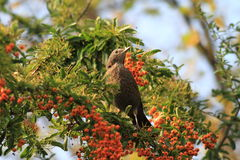 Female blackbird in a berry bush Stock Photography