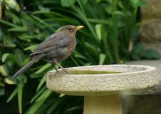 Female blackbird on a bird bath. A female blackbird on a garden bird bath, drinking water Stock Photography
