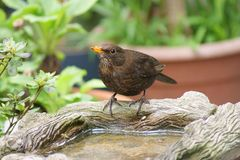 Female blackbird at birdbath Stock Photography
