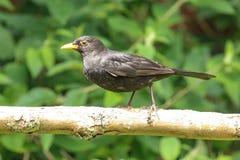 A female blackbird Royalty Free Stock Photo