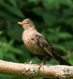 A female blackbird Royalty Free Stock Photography