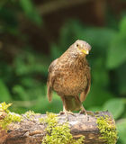 A female blackbird Royalty Free Stock Images