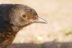 Female blackbird closeup Royalty Free Stock Photography