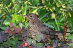 Female Blackbird. The common blackbird c is a species of true thrush. It is also called Eurasian blackbird. The male of the nominate subspecies, which is found royalty free stock image