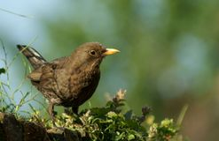 Female blackbird stock photo