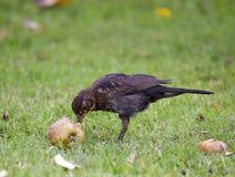 Female Blackbird eating apple Stock Photography