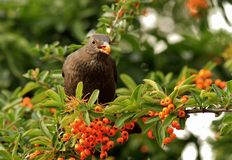 Female blackbird eating berries. Female blackbird with orange berry in mouth royalty free stock image