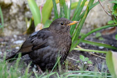 Female Blackbird in the garden. Female Blackbird resting in the garden Royalty Free Stock Image