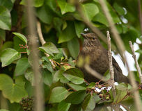 Female Blackbird in the green Royalty Free Stock Photos