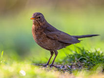 Female blackbird green background Stock Image