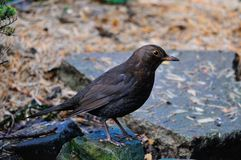 Female Blackbird on the ground. Royalty Free Stock Images