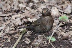 Female Blackbird. A female blackbird on the ground camouflaged by undergrowth Stock Photography