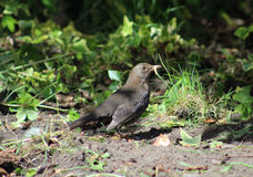 Female Blackbird with a Grub Royalty Free Stock Photography
