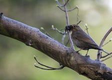 Female Blackbird Stock Image