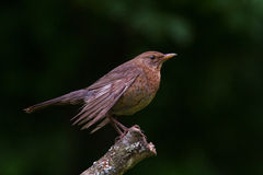 Female Blackbird on the perch Stock Photo