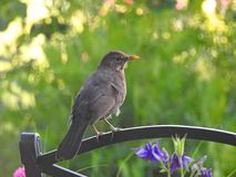 Female blackbird perched on metal garden bench. Photo of a female blackbird perched on the top of a metal garden chair looking out to a setting summer sun 8th Royalty Free Stock Image