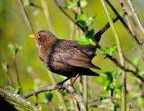 Female Blackbird. Stock Images