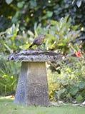 Female Blackbird perched on Stadle Stone Stock Photos