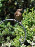 Female blackbird with a worm Royalty Free Stock Images