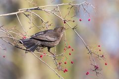 Female blackbird perching on a twig with red haw berries stock photography