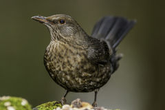 Female Blackbird Stock Image