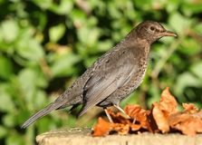 Female Blackbird Royalty Free Stock Photo