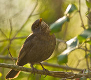 Female Blackbird posing Stock Photography