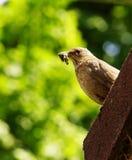 Female Blackbird Royalty Free Stock Image