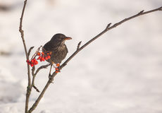 Female Blackbird on Rowan tree Royalty Free Stock Photos