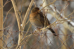 Female blackbird. Sitting on a branch on a cold morning Stock Photo