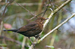 Female Blackbird turdus merula. Perched on a branch Royalty Free Stock Images