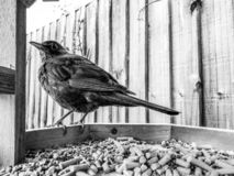 Female blackbird Turdus merula perched on the edge of a bird table with food pellets stock photos