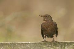 Female blackbird (turdus merula) Stock Image