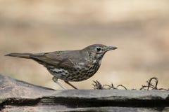 Female blackbird in the woods Stock Image