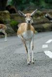 Female blackbuck Indian. (Antilope cervicapra) on road Stock Photos