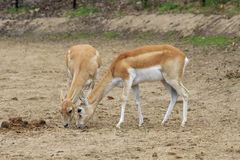 Female Blackbuck Royalty Free Stock Photo
