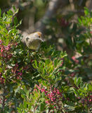 Female Blackcap Stock Photography