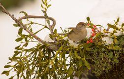 Female Blackcap Royalty Free Stock Photography