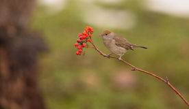 Female Blackcap eating a berry Stock Photo