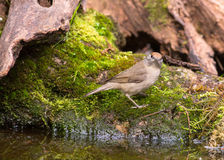 Female Blackcap on moss Royalty Free Stock Photography
