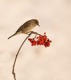 Female Blackcap on Rowan tree Stock Image