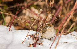 Blackcap bird in the snow Royalty Free Stock Images