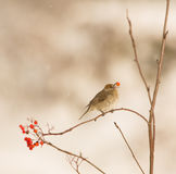 Female Blackcap eating a berry Royalty Free Stock Photo