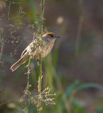 Female Blackcap Royalty Free Stock Images