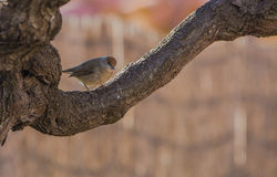 Female Blackcap on thick branch Royalty Free Stock Images