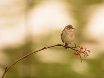 Female Blackcap on twig Stock Images