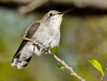 Female Blackchin Hummingbird Resting Foot Royalty Free Stock Images