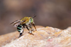 Female blue banded bee on rock Stock Images
